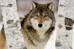 Холдинг Варна осинови вълче от варненския зоопарк